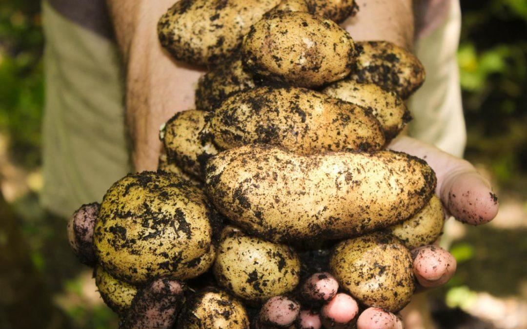 """Kartoffeln """"Scharfe Tüften"""""""